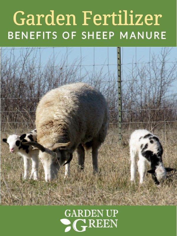 f77f13de5d936bb863d95d396fdc42a2 - Is Sheep Manure Good For Vegetable Gardens