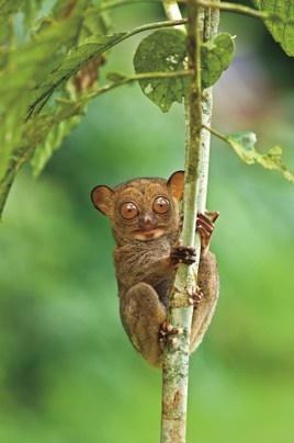 Madagascar?: Western Tarsier, Nature, Things, Places, Madagascar Lemur, Primates, Beautiful Creatures, Eye, Animal