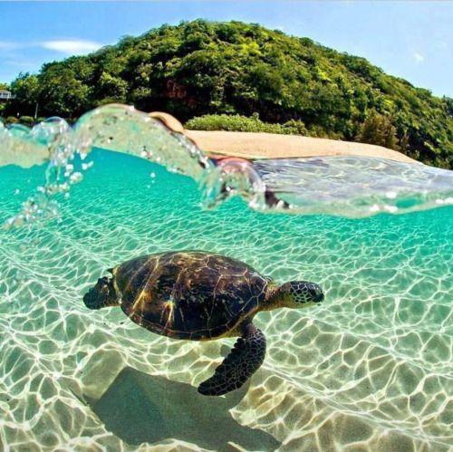 #turtles #beach #ocean #tortoise #seaturtles #vacation