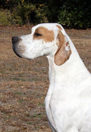 Flynn is an English Pointer, 4 1/2 years old and is a retired AKC Champion show dog.  He is a housedog, housebroken, crate trained. He is somewhat finicky with his food so cooking chicken and hamburger to mix with his dry food is preferable.  He...