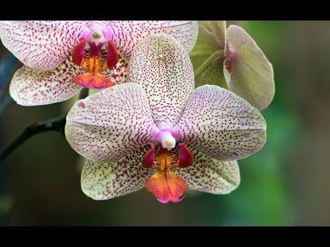 Orkide Nasıl Yetiştirilir/ Nasıl Çoğaltılır/ Nasıl Bakılır? - YouTube
