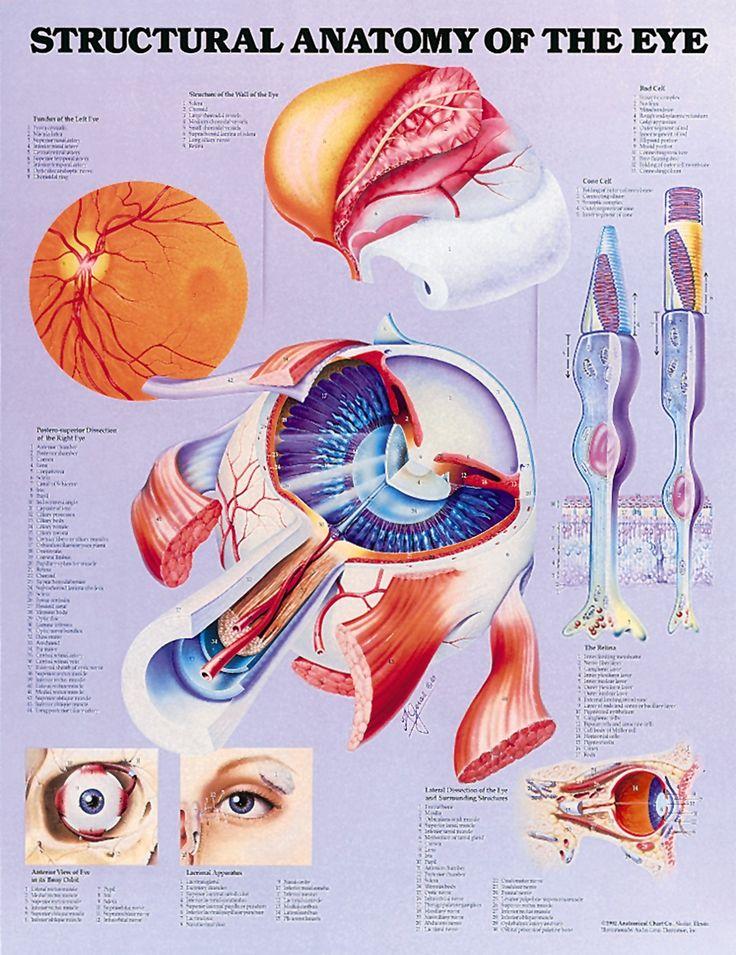 3531 best - Biology - images on Pinterest | Human anatomy, Human ...