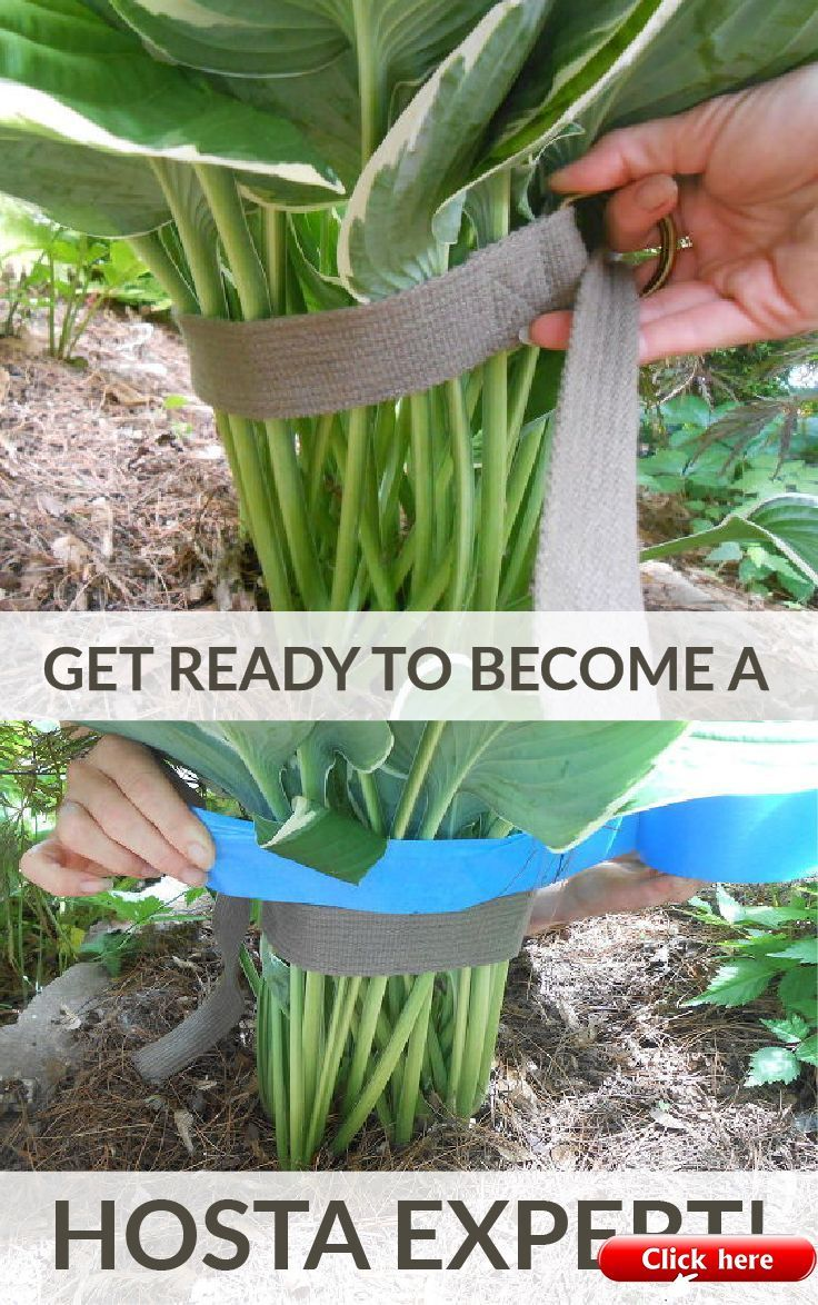 See How 30 Clever Gardeners Make Their Hostas Thrive 2019 Sign up to Hometalk fo…