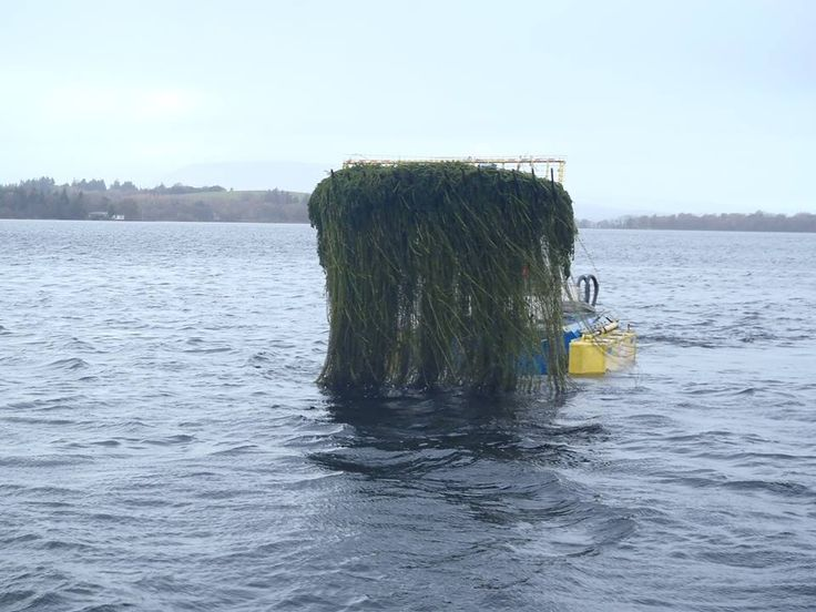 CONTROL OF INVASIVE SPECIES Control operations for the invasive curly african pondweed in Lough Corrib will now change from jute matting application to mechanical control using V-Blades. The blade edges are blunt and rather than cutting the weed they rip the weed from the root.  https://www.facebook.com/pages/Aquatic-Invasive-Species-Ireland/118394508216740 #invasivespecies