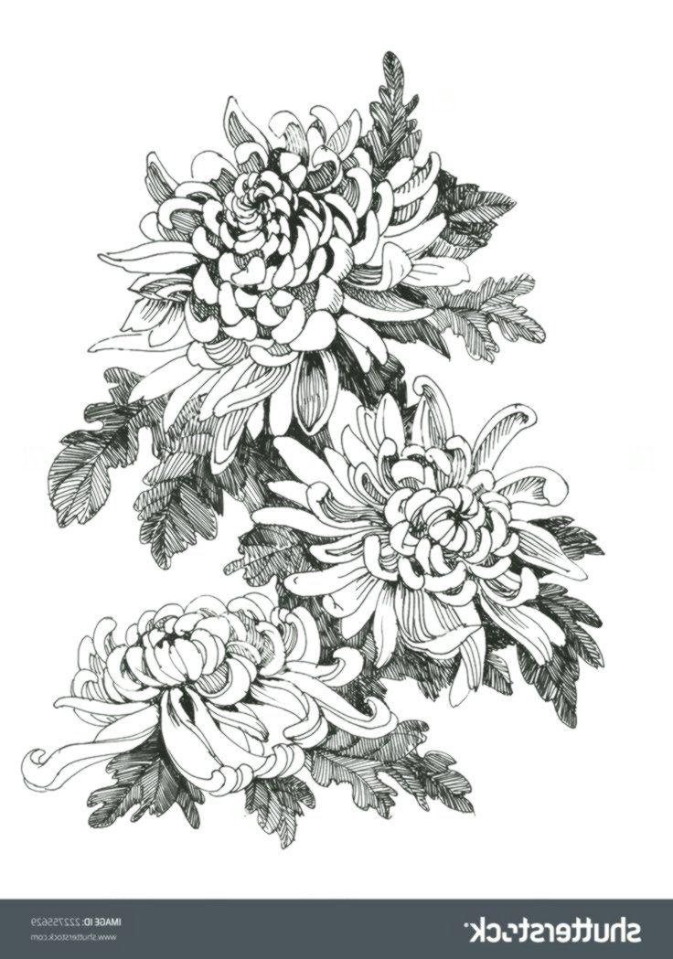 Hand Drawing Chrysanthemum Flower Vector Illustration Line Pictures Chrysanthemum Draw Chrysanthemum Drawing Vector Illustration Chrysanthemum Flower