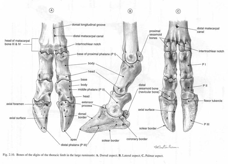 Ox: Digits. Bones of hooves & lower limbs. Ox similar to ...