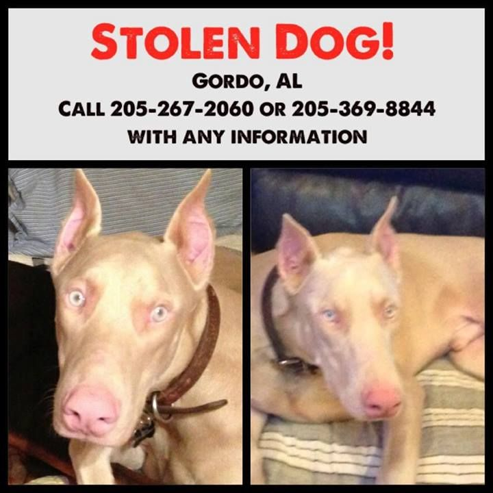 #MISSING ~~~ #GORDO #ALABAMA ~~~ 7/6/13 a DOBERMAN PINCHER was #STOLEN from a home on #GordoRidgeRoad -  the family is being taunted via text msgs by the THIEVING SCUM & police have been notified about this #lost #pet #dog ~ praying for his safe return PLZ RE-PIN - if you have ANY info PLZ CALL 205-267-2060 or 205-369-8844 or 205-902-2373