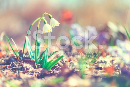 spring snowflake  [Leucojum vernum] / Daffodils royalty-free stock photo
