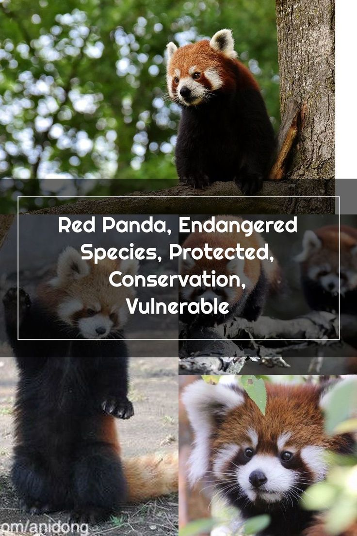 Red Panda, Endangered Species, Protected, Conservation