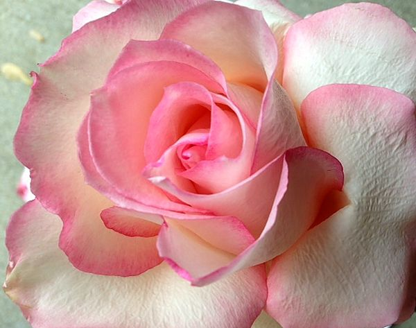Living A Simple And Blessed Life A Rose By Another Name
