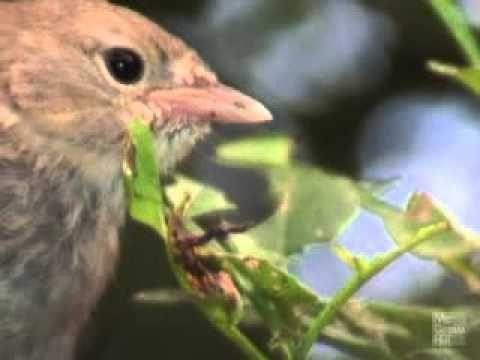Finches Adaptive Radiation