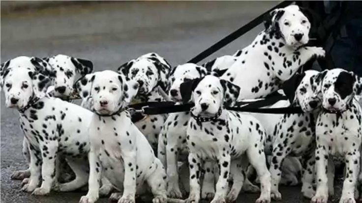 Top 10 Amazing Facts About Dalmatian Dogs - dalmatian puppies ...