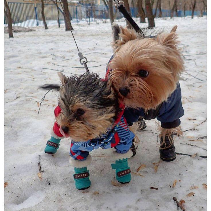 #йоркширскийтерьер #йорки #йорики #пёс #членсемьи #puppy #pussy #yorkshireterrier #york