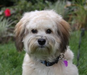 CARLYLE: Havanese, Dog; Newport Beach, CA