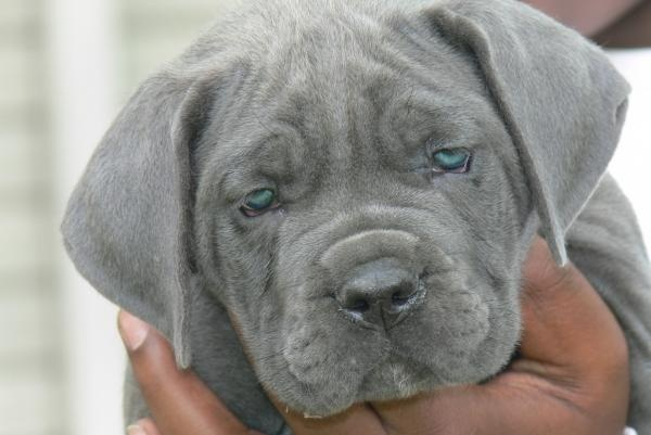 Finally found the dog i want!!!! Blue Cane Corso im in love :)