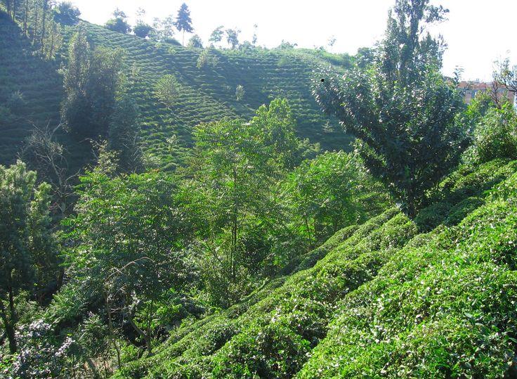Rize tea plantation, Turkey