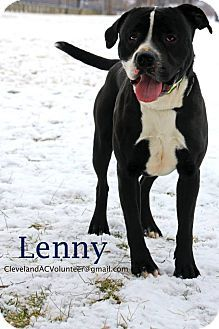 LENNY...Cleveland, OH - Pit Bull Terrier Mix. Meet Lenny, a dog for adoption. http://www.adoptapet.com/pet/12329191-cleveland-ohio-pit-bull-terrier-mix