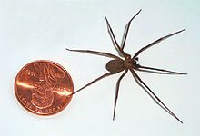 Brown recluse spider - Wikipedia, the free encyclopedia    Careful my nephew was bitten by this thing!!!....a 5 day battle with a Brown Recluse spider bite! They cut the bite out and cauterized the dead skin area! Scary stuff! I never saw the spider! The venom eats your skin away. Not fun. 2 more weeks to heal they say