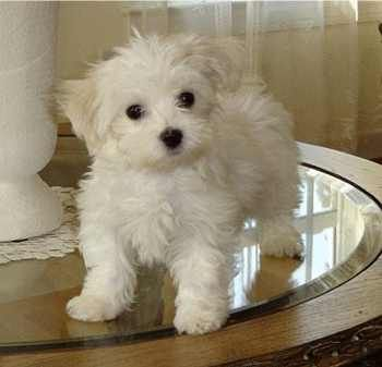 Morkies is a mix of a Yorkie and a Maltese, this dog is very small.