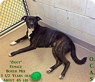 Triadelphia, WV - Boxer Mix. Meet 1-1 Ziggy, a dog for adoption. http://www.adoptapet.com/pet/17372158-triadelphia-west-virginia-boxer-mix