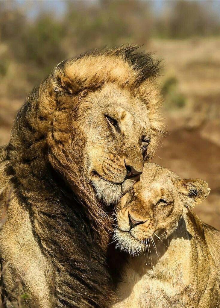 Днем, картинка со львом и львицей
