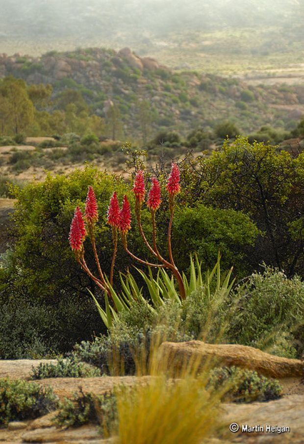 Peaceful South Africa Flowers Comes in Any Kinds of Species : South Africa Flowers Aloe