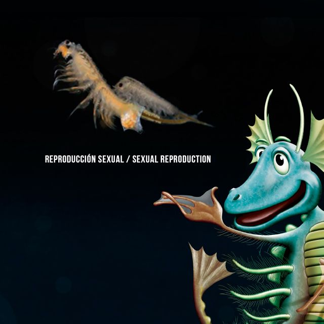 Did you know… #AquaDragons have 5 different ways of reproducing? Although all of them have the same goal! Emoticono wink Here´s one  Sabías que…  Los #AquaDragons tienen 5 formas distintas de reproducirse? ¡aunque todas tienen el mismo fin! Emoticono wink Hoy te presentamos una: #reproduction #artemias