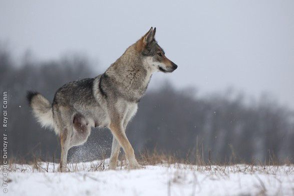 Czechoslovakian wolfdog. This is literally a dog crossed with a wolf--a German shepherd and a Carpathian timber wolf. I need one.