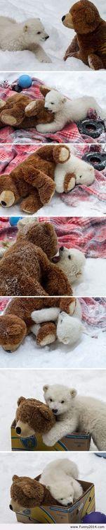 Baby polar bear playing with a teddy bear