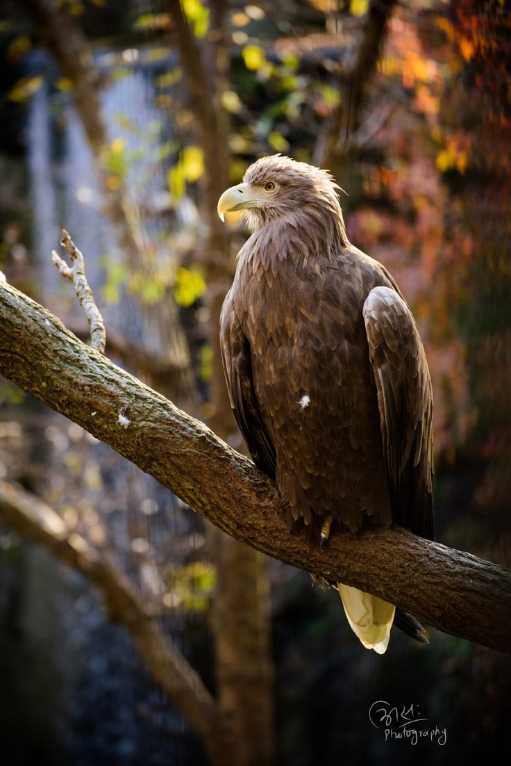 WHITE TAILED EAGLE - null