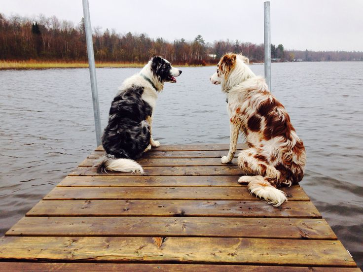 Blue and red merle border collies