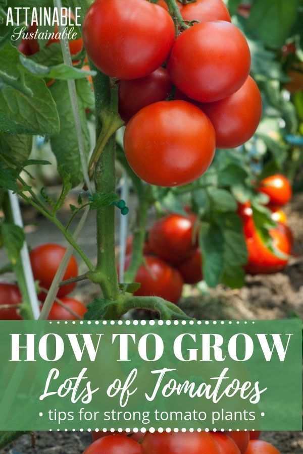 How To Plant Tomatoes For Strong Growth And A Big Harvest Container Gardening Vegetables Garden Layout Vegetable Winter Vegetables Gardening