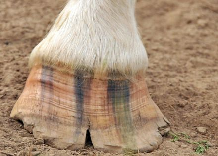 A chipped and cracked horse hoof