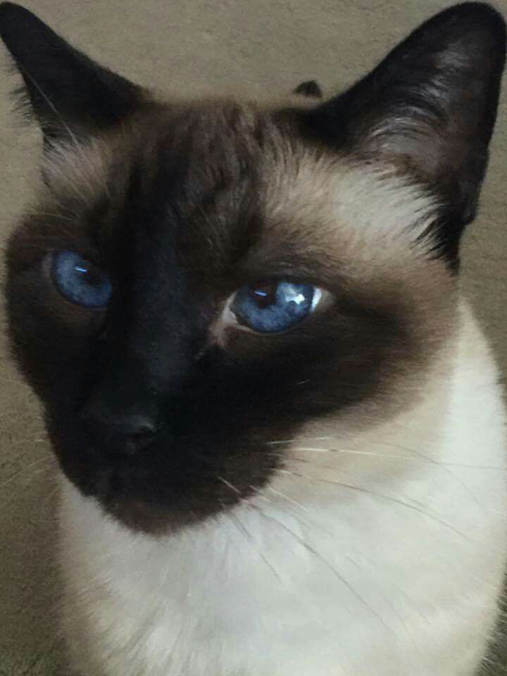 99 Best Snowshoe Siamese Ragdoll Cats4 Images On