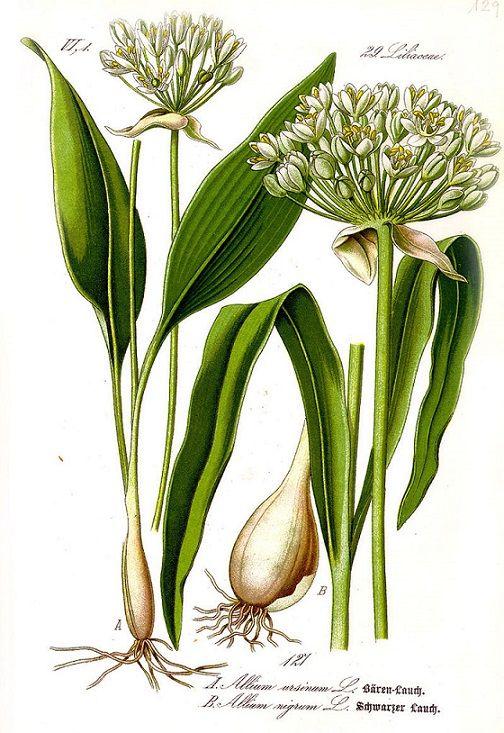Bylina medvědího česneku (Allium Ursinum) #medvedicesnek #alliumursinum #herbs #wildgarlic