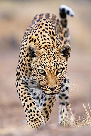 Leopard, Panthera pardus. Otjozondjupa Region, Namibia  By Stephen Belcher
