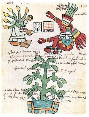 Pre-Columbian codex shows Theobroma cacao, with it's pods growing in a soil-filled sink-hole.