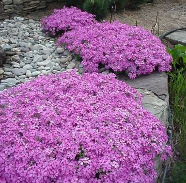 """creeping phlox - a spreading, mossy evergreen perennial, blooming extravagantly in spring.   This variety tolerates sun well, remaining green throughout the summer and fall."""