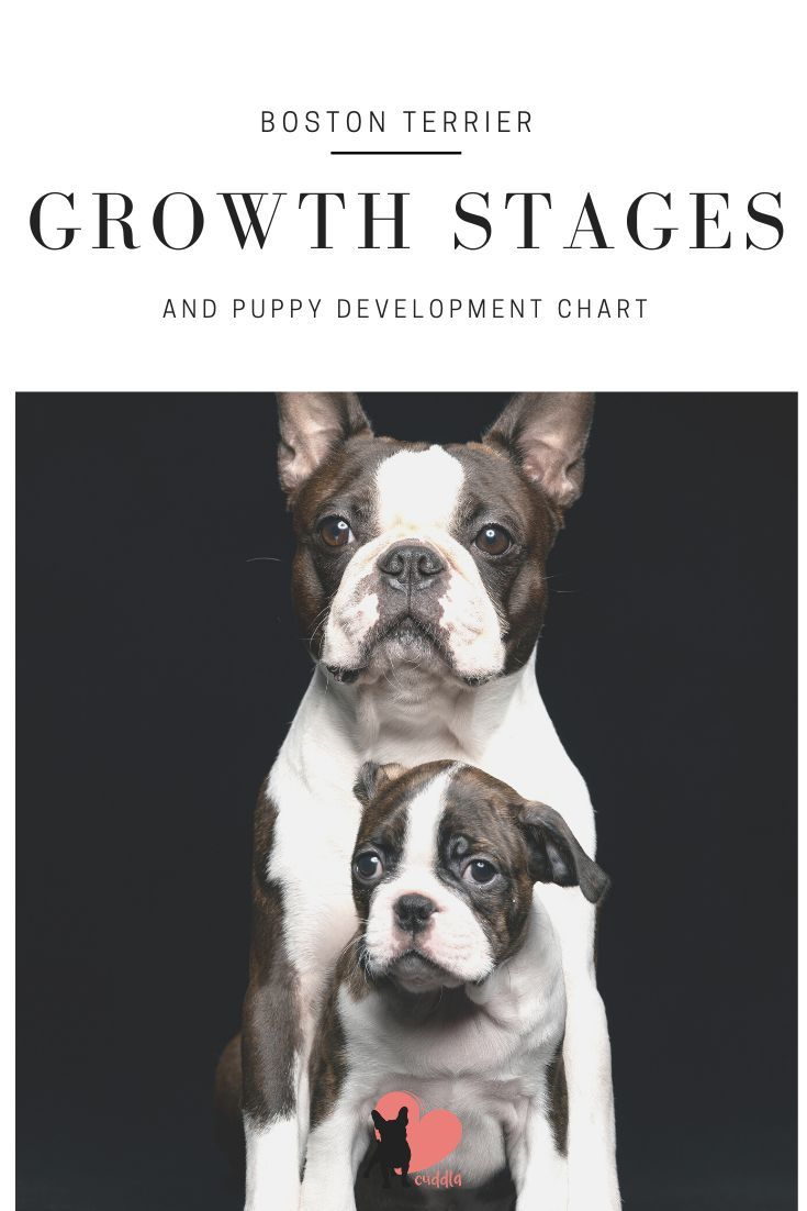 Boston Terrier Growth Stages And Puppy Development Chart Boston Terrier Puppy Boston Terrier Tattoo Terrier Puppies