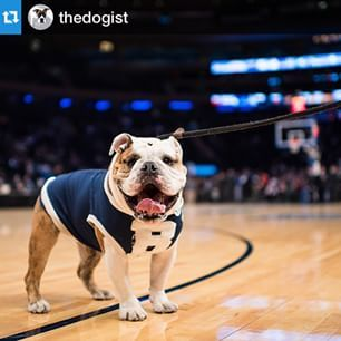 "This is Butler Blue III, aka ""Trip"" — he is the official mascot of Butler University, and he is a VERY GOOD DOGGIE. 