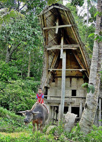 Sulawesi - Toraja - Rantepao - Boy on a Buffalo Indonesia