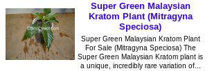Super Green Malaysian Kratom Plant (Mitragyna Speciosa)