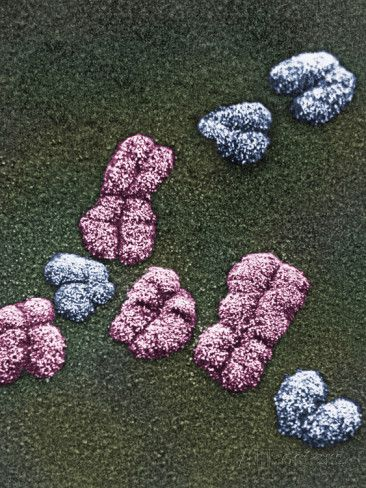 Human X Chromosomes (Pink) and the Y Chromosomes (Blue), SEM X10,000 Photographic Print by Gopal Murti at AllPosters.com