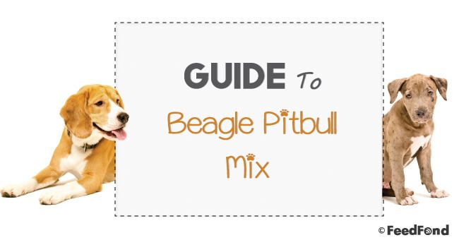 Complete Guide To Beagle Pitbull Mix Breed Dog Featured Image