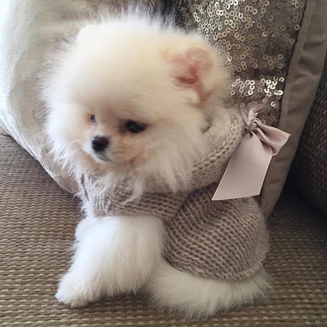 Pomeranian little lady