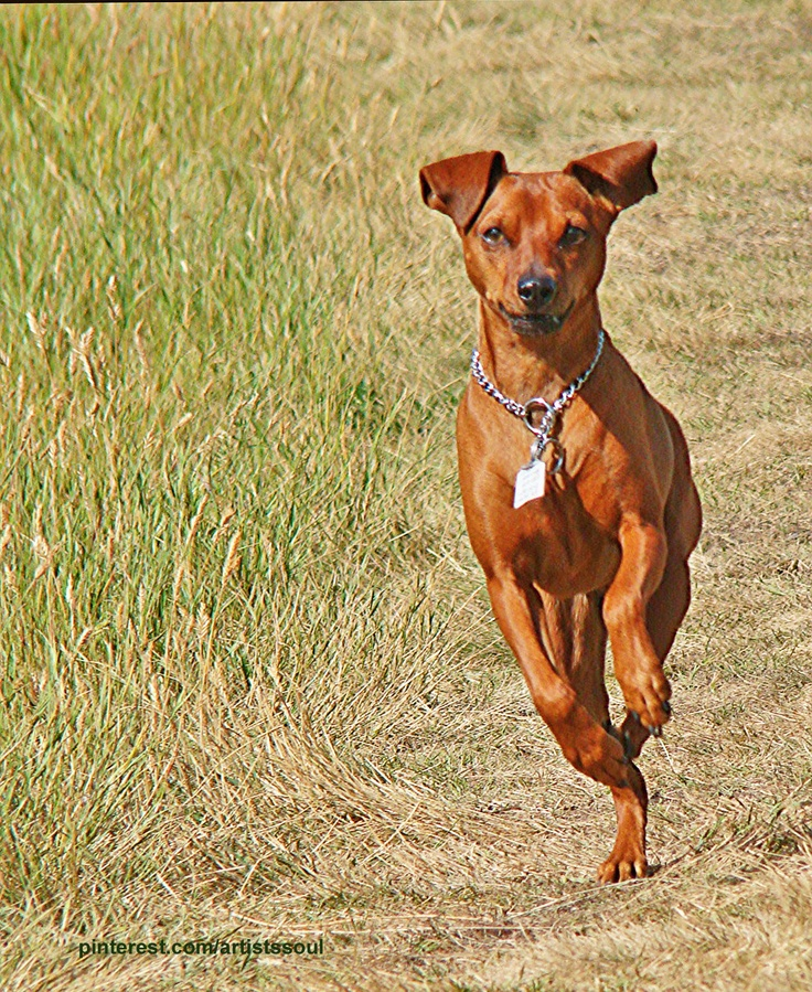 17 Best Images About Pins For Pets On Pinterest: 17 Best Images About Miniature Pinscher Dog Art Portraits