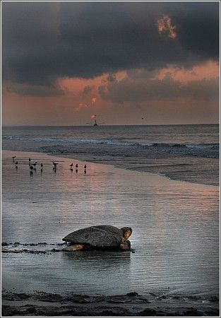 A loggerhead turtle heads out to sea on the South Carolina coast. Loggerhead turtles live around the world. They are an Endangered species despite world-wide hunting bans because of habitat loss, illegal hunting, light pollution, and risks from the fishing industry.