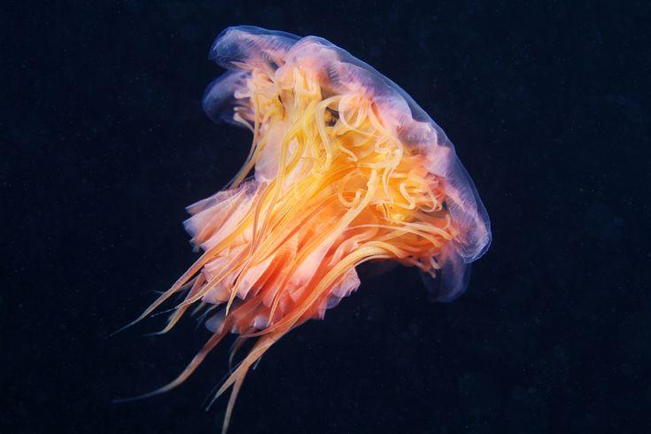 Cyanea-capillata: Cyan Capillata, Sea Creatures, Cyanea Capillata Species, Colors Palettes, Cyanea Capillatabi, Alexander Semenov, Photo, Cyaneacapillata, Jellyfish