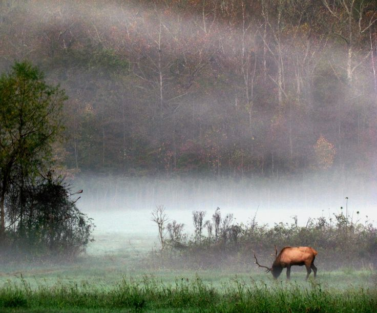 Elk In The Fog While Backpacking The Buffalo River Trail - Stunning.