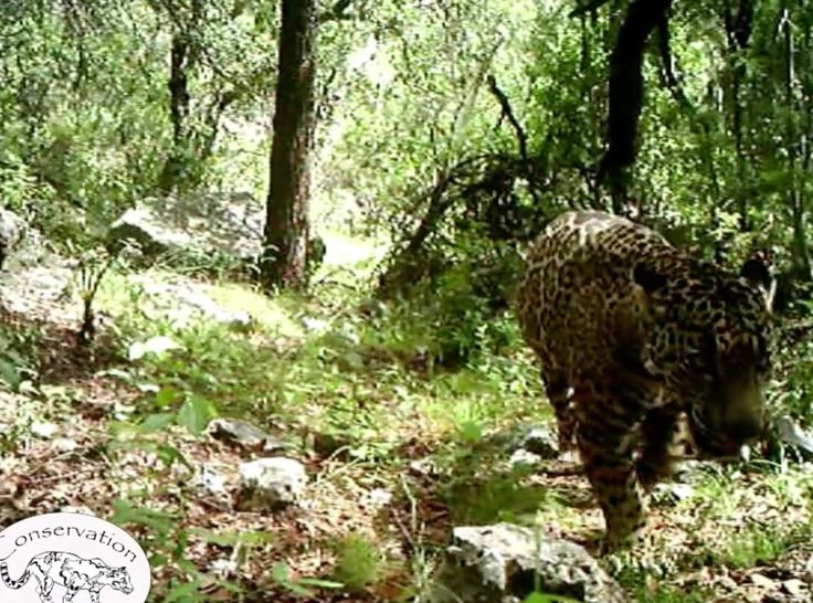 El Jefe El Jefe, the only known jaguar in the United States, has been in southern Arizona for at least three years. The male jaguar dispersed from the nearest jaguar breeding population in Mexico's Sonora state and has made his territory near Tucson. He's the first known jaguar in the country since 2009 … The story of jaguars in Arizona is one of bloodshed, bad feeling and debate over the best way to conserve these big cats.